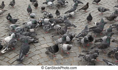 Flock of pigeons searching for food on the Red square of Vyborg, Russia.