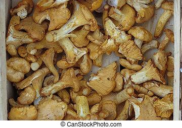 Cantharellus cibarius mushroom background