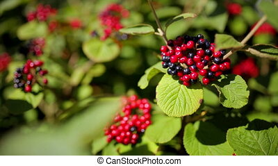 Red and black berries on the branch of a green Bush