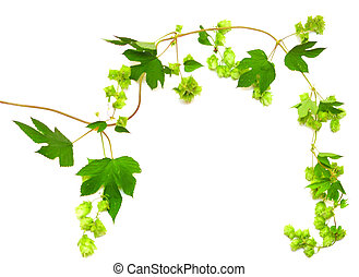 hops plant twined vine, young leaves isolate on white