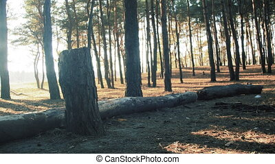 Logs of Trees in the Pine Forest Background. Trunk of a pine...