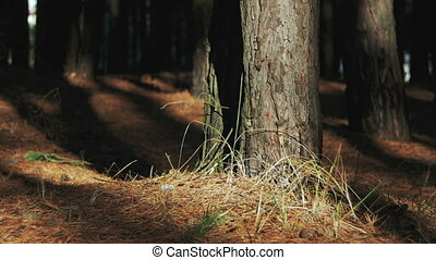 Pine Forest Background - Pine forest background. Trunk of a...