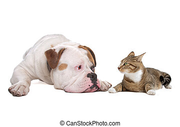 Dog and cat - American bulldog and a european shorthaired...