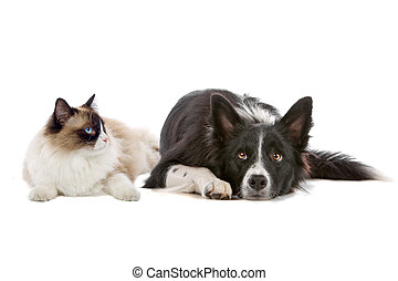 dog and cat - border collie dog and a long haired cat with...