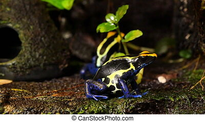 Blue and Yellow Poison Dart Frog Couple