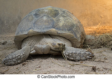 Image of a turtle on the ground. (Geochelone sulcata)