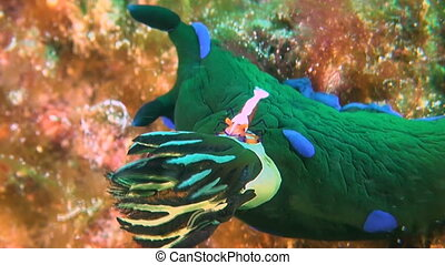 Emperor shrimp on a Nudibranch - Emperor shrimp on a Dorid...