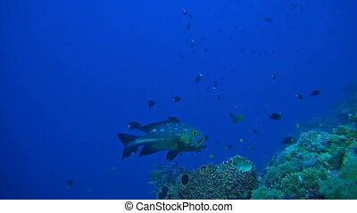 Midnight snapper with cleaner fish on a coral reef