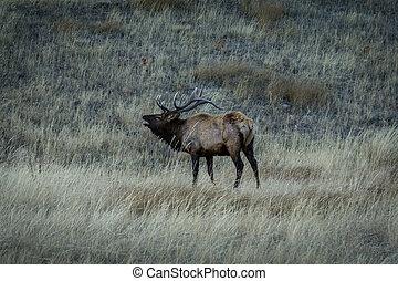 Bull Elk Bugling - Bull Elk in rut, in Estes Park, Colorado.
