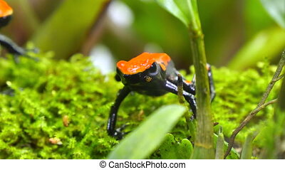 Strawberry Poison Dart Frog Couple Dendrobates Pumilio -...