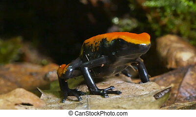 Strawberry Poison Dart Frog Dendrobates Pumilio - These...