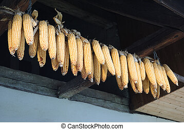 Ears of Corn - Drying ears of corn