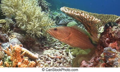 Slender Grouper on a coral reef