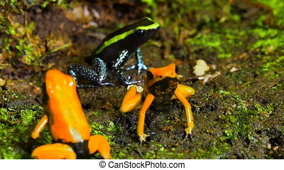 Golden Poison Terribilis Arrow Frog Group - The golden...