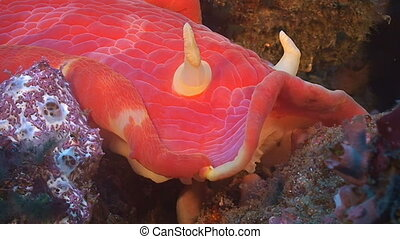 Spanish dancer close up - This species of very large,...