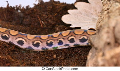 Xenopeltis Iridescent Snake - The Xenopeltidae are a...