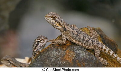 Pogona Reptile Couple - Pogona is a genus of reptiles...