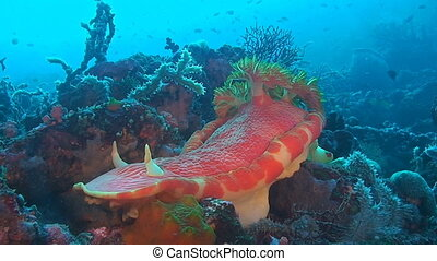 Spanish dancer - This species of very large, strong-swimming...
