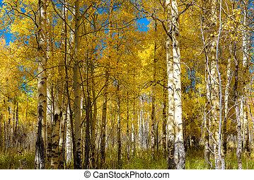 Beautiful Aspen tree during autumn