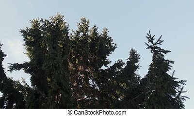 Spruce branches waving on a wind - branches of spruce waving...