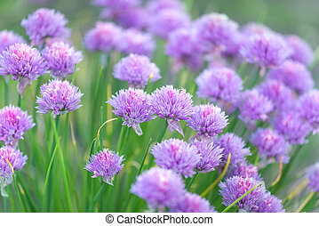Flowers of chives onion - Purple flowers of chives onion...