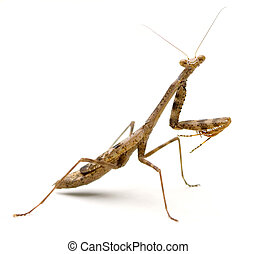 Praying Mantis (Stagmomantis carolina) isolated on white...