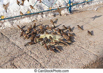 big flock of sparrows - flock of sparrows eating millet on...