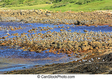 Sea bird colony - Colonies of birds on rocks along the coast...
