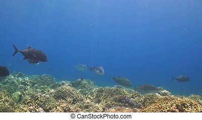 Trevallies and Napoleon - A colorful coral reef with Bluefin...