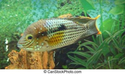 Colorful fish in aquarium swimming.