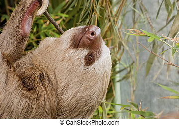Two-toed sloth hanging from branch with eyes open in Costa...