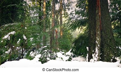 Passing Snow Covered Forest In Evening - Dolly shot moving...