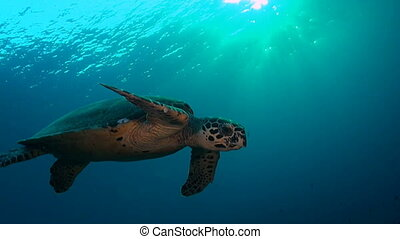 Hawksbill Turtle - Turtle swims in the open water with sun...