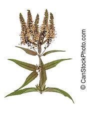 Veronica, flores,  spicata, apertado, secado