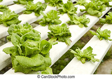 Hydroponic - Fresh salads in the garden,Hydroponic...