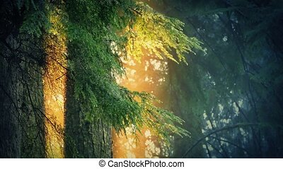 Trees Dripping In Golden Sunlight - Forest trees drip...