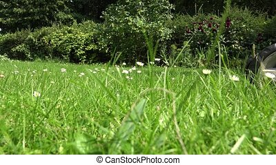 daisy flowers in meadow and gardener lawn mower cut grass....