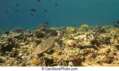 Hawksbill turtle swimming on a Coral reef. Surgeonfish,...