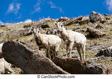 Bighorn Sheep - Along Mount Evans Road, in Colorado