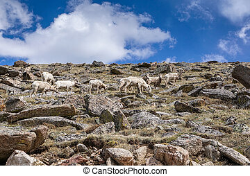 Bighorn Sheep Grazing - Along Mount Evans Road, in Colorado