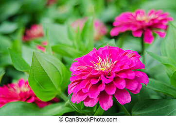 Zinnia flower(Zinnia violacea Cav.) bloom on green leaves in...