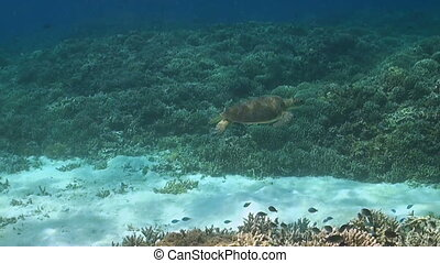 Green sea turtle swims over a coral reef