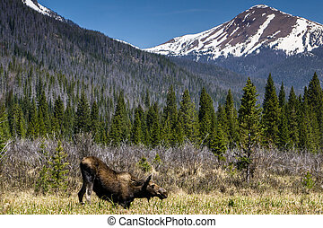 Moose in Rocky Mountain National Park - Near Grand Lake,...