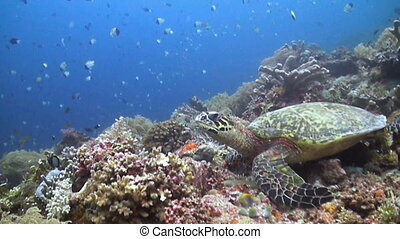 Hawksbill turtle on a coral reef with many small fish