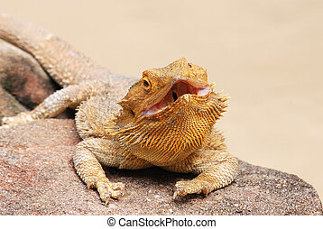 Bearded dragon on a rock