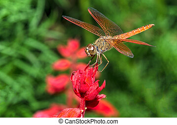 Dragonfly on red flower closeup - Closeup of dragonfly...