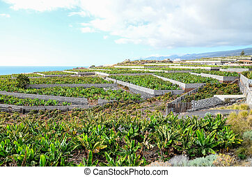 Banana Plantation Field in Tenerife Canary Islands