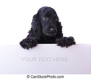 cocker spaniel dog - cocker spaniel with white empty...