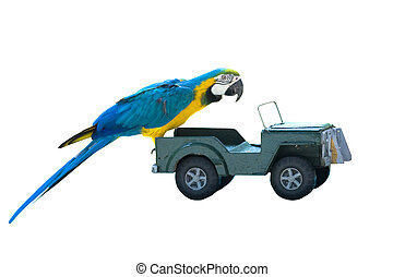 isolated parrot on a toy car - isolated macaw parrot on a...