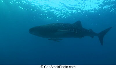 Whale shark in blue water
